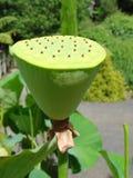 De peul van Lotus Stock Foto
