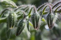 De Peulen van de boragebloem - Geen Open Bloemen Stock Afbeeldingen