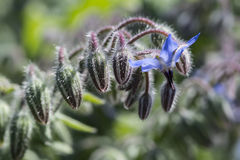 De Peulen van de boragebloem - Geen Open Bloemen Royalty-vrije Stock Fotografie