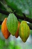De peulen van de cacao Royalty-vrije Stock Afbeelding