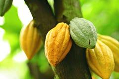 De peulen van de cacao royalty-vrije stock foto