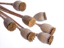 De peulen van de papaver Stock Fotografie