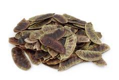De peulen van de seneplant of acutifolia van de Kassieboom Stock Foto