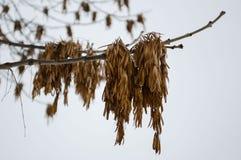 De peulen van het aszaad op een tak tegen de hemel stock afbeeldingen