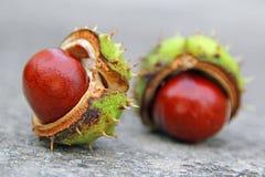 De peulen van het de herfst conker zaad Stock Foto