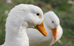 De photos de canard plan rapproché blanc dehors Photo stock