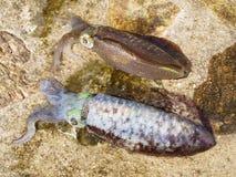 De pijlinktvissen van het paar Royalty-vrije Stock Foto