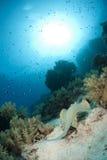 De pijlstaartrog die van Bluespotted weg zwemt. Royalty-vrije Stock Fotografie
