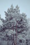 De pijnbomen in rijp Stock Foto