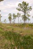 De Pijnbomen van de schuine streep over zaagpalmetto Stock Foto's