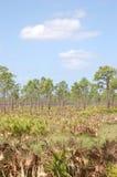 De Pijnbomen van de schuine streep in Zaag Palmetto flatlands Stock Foto
