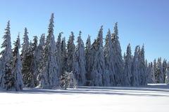 De pijnbomen van de sneeuw Stock Foto's