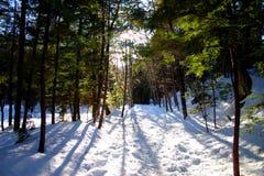 De Pijnbomen van de winter Stock Afbeelding