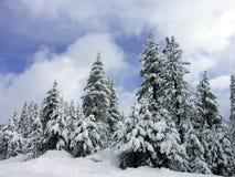 De Pijnbomen van de winter Royalty-vrije Stock Afbeeldingen