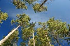De pijnbomen van Lodgepole, Canadese Rockies Stock Afbeeldingen