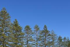 De pijnbomenbeeld die van Norfolk in grootte dalen royalty-vrije stock afbeeldingen