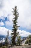 De Pijnboom Stock Foto