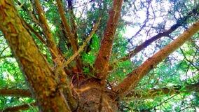 De Pijnboom stock foto's