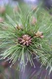 De pijnboom bloeit dicht omhoog De lente die in het bospijnboomstuifmeel bloeien stock foto