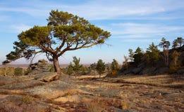 De pijnboom breaked door de rotsen royalty-vrije stock foto's