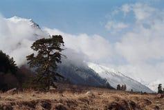 De pijnboom Caucasuan stock fotografie