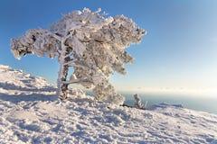De pijnboom onder de sneeuw in bergen Royalty-vrije Stock Afbeeldingen