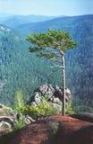De pijnboom is op de rots Stock Fotografie