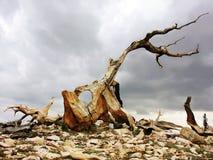 De Pijnboom van Bristlecone Stock Afbeeldingen