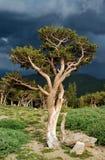 De Pijnboom van Bristlecone Royalty-vrije Stock Foto
