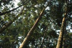 De pijnboom van Bunya Royalty-vrije Stock Afbeelding