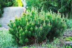 De pijnboom van de berg (Pinus mugo) Tuin Royalty-vrije Stock Fotografie