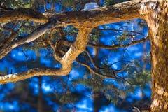 De pijnboom van de boomstam Royalty-vrije Stock Fotografie