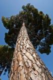 De Pijnboom van de steen (Pinus pinea) stock foto's
