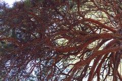 De pijnboom van de takkroon Stock Afbeelding