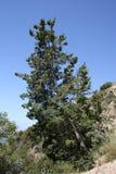 De Pijnboom van de Weg van de Tol van Wilson Stock Afbeeldingen