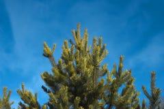 De pijnboom van de winter Royalty-vrije Stock Foto's