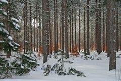 De Pijnboom van de winter en het Bos van de Boom van de Beuk royalty-vrije stock afbeelding