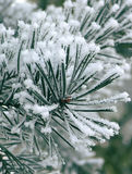 De pijnboom van Freezy Royalty-vrije Stock Foto