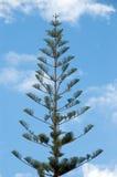 De Pijnboom van het Eiland van Norfolk stock fotografie