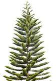 De Pijnboom van het Eiland van Norfolk Royalty-vrije Stock Afbeelding