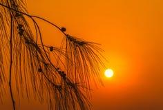 De pijnboom van het silhouetblad bij zonsondergang Royalty-vrije Stock Afbeeldingen