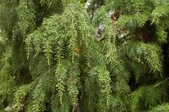 De Pijnboom van Huon Stock Afbeelding