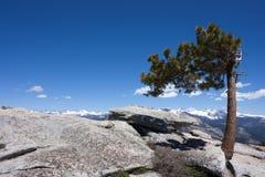 De Pijnboom van Jeffrey Royalty-vrije Stock Foto's