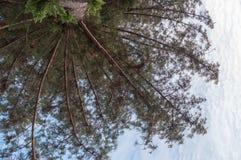 De pijnboom van Norfolk Royalty-vrije Stock Afbeelding