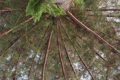 De pijnboom van Norfolk Royalty-vrije Stock Foto