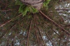 De pijnboom van Norfolk Stock Afbeelding