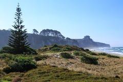 De pijnboom van Norfolk op windswept strand van Nieuw Zeeland royalty-vrije stock foto