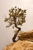 De Pijnboom van Pinyon Stock Afbeelding