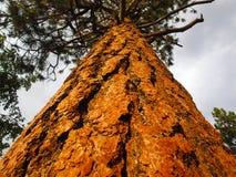 De Pijnboom van Ponderosa Royalty-vrije Stock Afbeeldingen