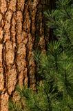 De Pijnboom van Ponderosa Stock Foto's